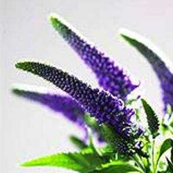 Buddleia flower for tree making